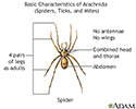 Arachnids - basic features