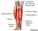 Lower leg muscles