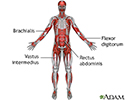 Deep anterior muscles